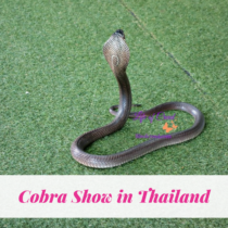 Cobra Show in Thailand